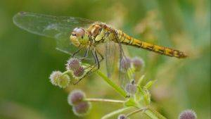 Image of common darter © Joy Russell