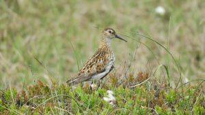 Dunlin © Moors for the Future Partnership