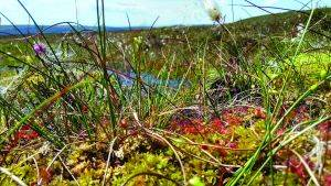 Image of bog vegetation © Dom Hinchley