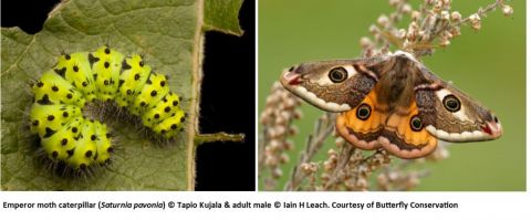 Emperor moth caterpillar and adult male