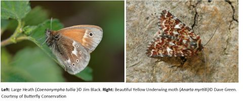 Large heath butterfly and yellow underwing moth
