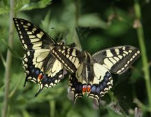 Swallowtail butterfly credit Brian Macfarlane