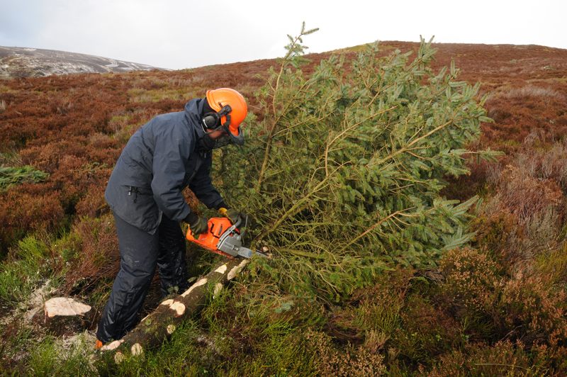 Removal of self-seeded sitka spruce - Credit RSPB